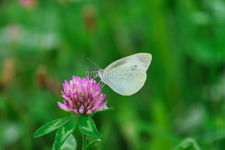 アカツメクサに止って吸蜜するモンシロチョウの写真素材 [FYI02990150]
