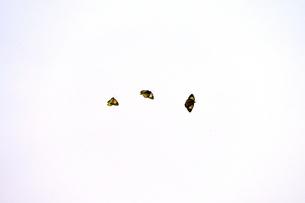空を飛ぶ3匹のモンキチョウの写真素材 [FYI02990271]