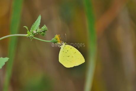 花に止って吸蜜するキチョウの写真素材 [FYI02990278]