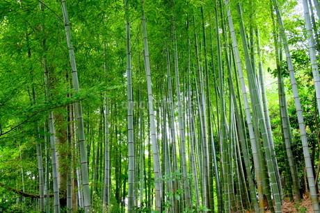 竹林(孟宗竹)の写真素材 [FYI02990288]