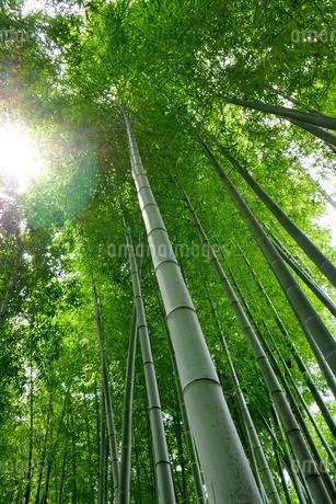 下から見上げた竹林(孟宗竹)の写真素材 [FYI02990300]