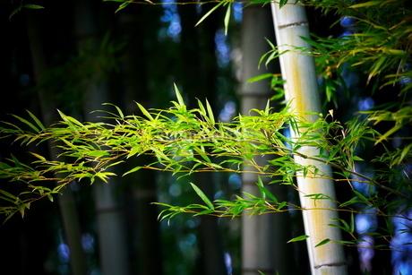 横から撮影した竹の葉と幹の写真素材 [FYI02990312]