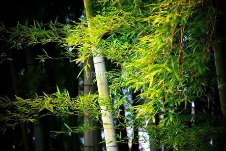 横から撮影した竹の葉と幹の写真素材 [FYI02990317]