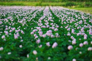 ジャガイモの花の写真素材 [FYI02990391]