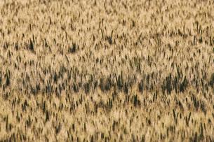 朝の麦畑の写真素材 [FYI02990527]