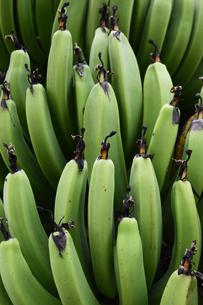 熟する前のバナナの実の写真素材 [FYI02990557]