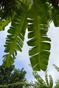 バナナの葉を見上げるの写真素材 [FYI02990560]