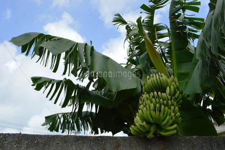 バナナの木と熟していない実の写真素材 [FYI02990561]