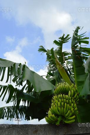 バナナの木と熟していない実の写真素材 [FYI02990562]