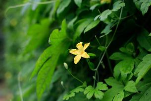 緑の中で一際目立つゴーヤの花の写真素材 [FYI02990619]
