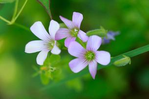 庭先に咲いたムラサキカタバミの写真素材 [FYI02990620]