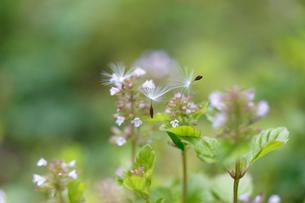 雑草の花の上に辿りついたタンポポの種の写真素材 [FYI02990628]