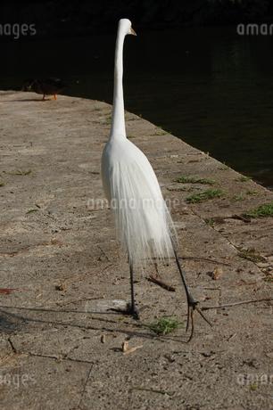 池の周りを散歩するシラサギの後ろ姿の写真素材 [FYI02990645]