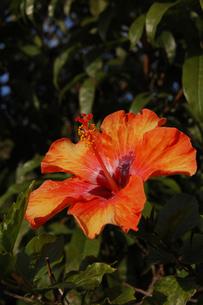 赤と黄色とオレンジのグラデーションのハイビスカスの写真素材 [FYI02990647]