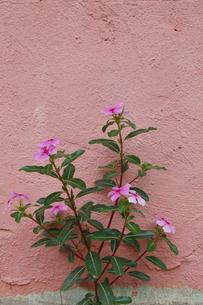 ピンクに塗られた壁とニチニチソウの花の写真素材 [FYI02990648]