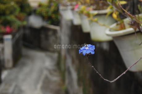 路地裏に飛び出ている青い花の写真素材 [FYI02990650]