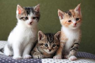 仲良しな子猫の兄弟の写真素材 [FYI02990651]