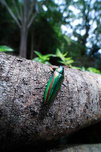 産卵のために訪れた倒木の上で休むヤマトタマムシの写真素材 [FYI02990657]