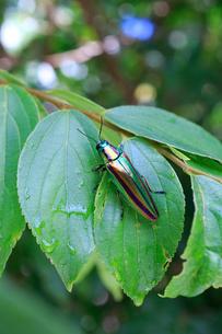 食草のエノキの葉の上で休むヤマトタマムシの写真素材 [FYI02990659]