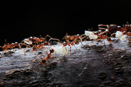 巣の引越しで蛹をくわえて移動するオオズアリの写真素材 [FYI02990666]