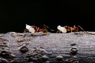 巣の引越しで蛹をくわえて移動するオオズアリの写真素材 [FYI02990667]