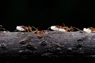 巣の引越しで蛹をくわえて移動するオオズアリの写真素材 [FYI02990670]