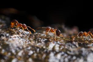 木の上で挨拶を交わしながら行き交うアリの仲間の写真素材 [FYI02990671]