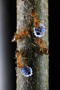 カイガラムシから甘露をもらうキイロシリアゲアリの写真素材 [FYI02990673]