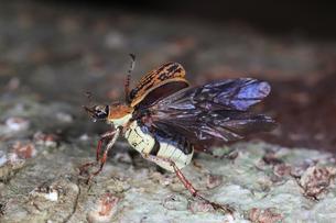 倒木から飛び立とうとするヒメアシナガコガネの写真素材 [FYI02990676]