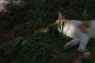 寝ている猫の目が草で隠れているの写真素材 [FYI02990677]