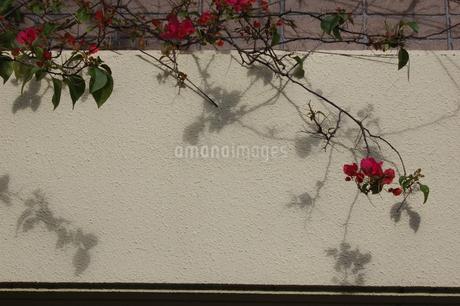 赤い花が白い壁に影を落とすの写真素材 [FYI02990680]