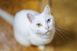白猫の写真素材 [FYI02990699]