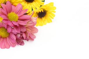 菊の花束の写真素材 [FYI02990713]