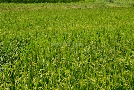 稲作の写真素材 [FYI02990731]