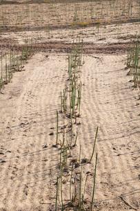アスパラ畑の写真素材 [FYI02990760]