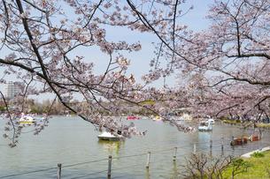 上野の不忍池の桜の写真素材 [FYI02990805]