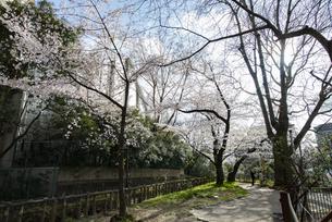 四谷の外堀の桜の写真素材 [FYI02990851]