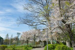四谷の外堀公園の桜の写真素材 [FYI02990855]
