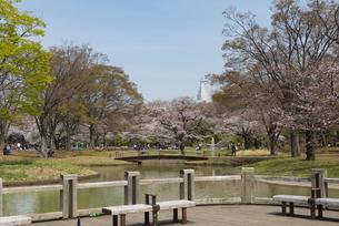 代々木公園の桜の写真素材 [FYI02990882]