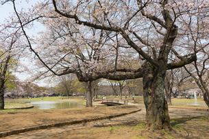 代々木公園の桜の写真素材 [FYI02990884]