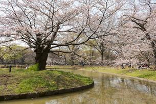 代々木公園の桜の写真素材 [FYI02990892]