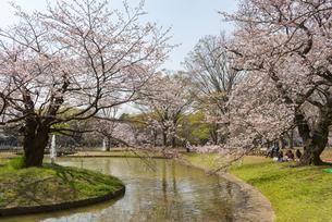 代々木公園の桜の写真素材 [FYI02990894]