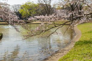 代々木公園の桜の写真素材 [FYI02990896]