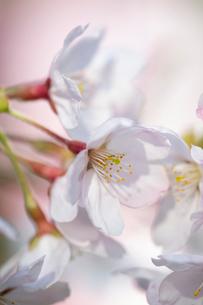 淡いピンクが可愛らしい咲き始めのさくらの花の写真素材 [FYI02990976]
