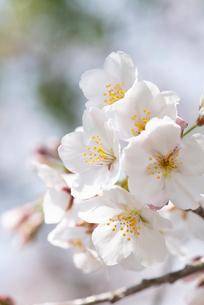 そよ風に揺らぐ満開の桜の花の写真素材 [FYI02990978]