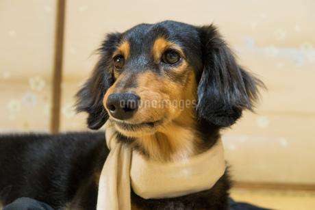 ペットの体調管理の写真素材 [FYI02991024]