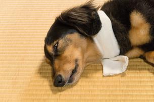 ペットの体調管理の写真素材 [FYI02991026]