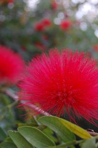 南国沖縄のオオベニゴウカンの花の写真素材 [FYI02991079]