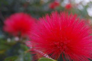 南国沖縄のオオベニゴウカンの花の写真素材 [FYI02991083]