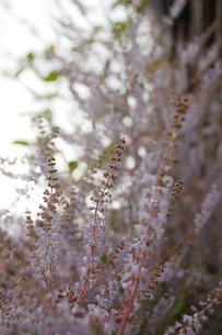 たくさん咲き誇るメイフラワーの花の写真素材 [FYI02991086]